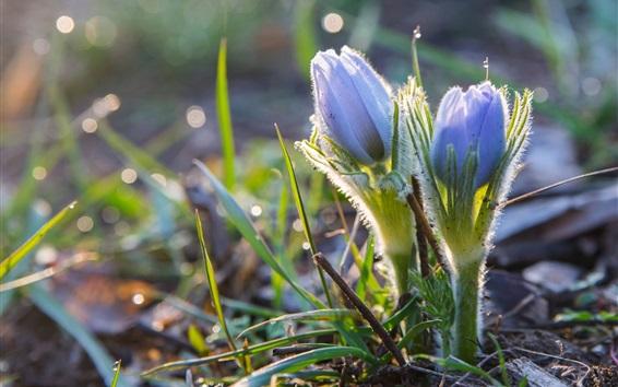 Papéis de Parede Primavera, anêmona, flores azuis, bokeh