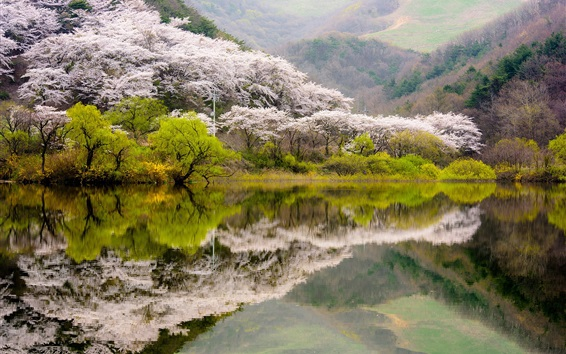 배경 화면 봄, 호수, 꽃, 물 반사, 한국