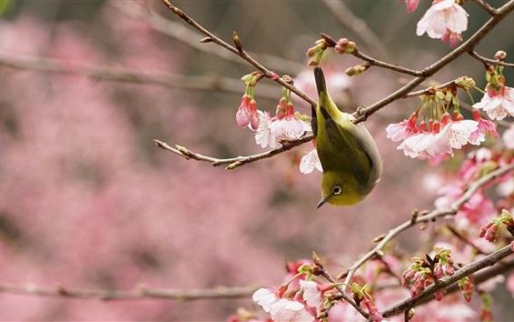 배경 화면 봄, 핑크 사쿠라, 새