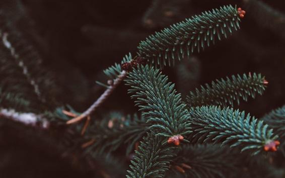 Fond d'écran Épicéa, branches, aiguilles