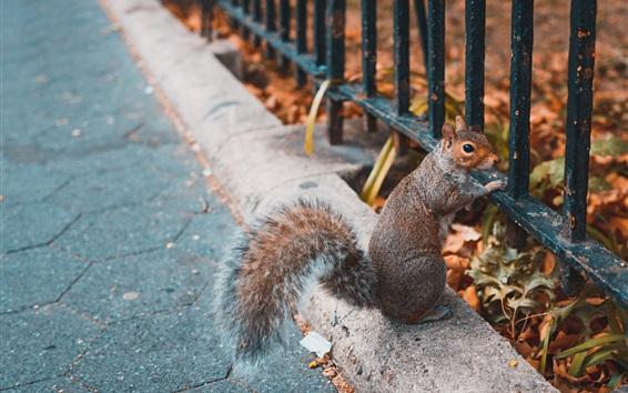Wallpaper Squirrel, look, fence