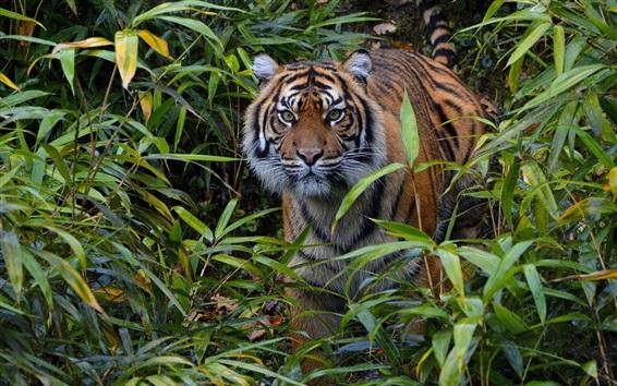 Papéis de Parede Tigre de Sumatra, observação, bambu