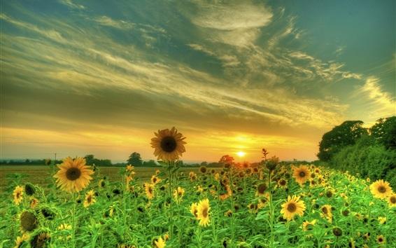Wallpaper Sunflowers, fields, clouds, sunset