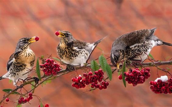 Papéis de Parede Três aves comem frutos vermelhos