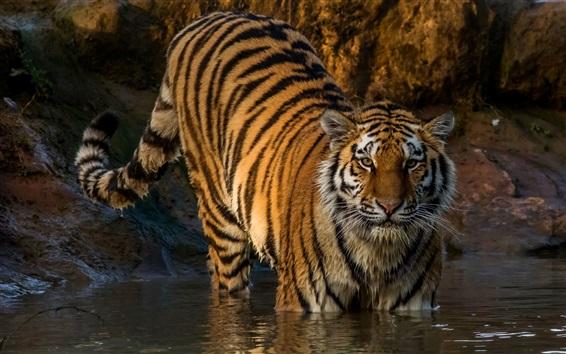 壁紙 虎は水を歩く