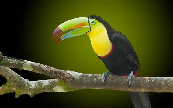 Papéis de Parede Toucan, pássaro, bico, ramos