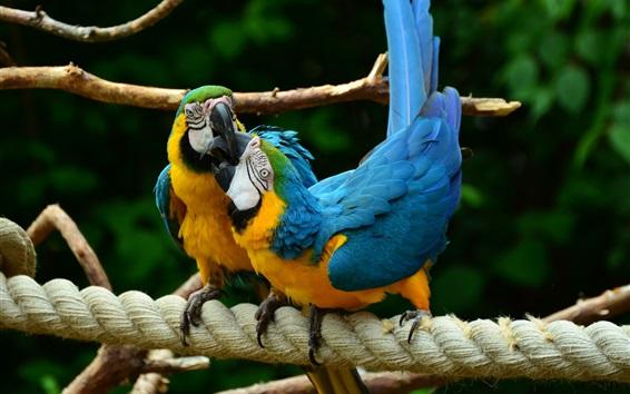 Papéis de Parede Dois pássaros, papagaios, arara