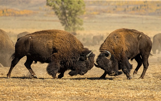 Papéis de Parede Dois búfalos na batalha