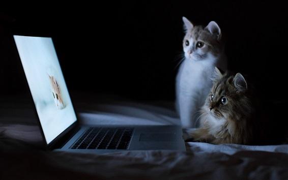 Fond d'écran Deux chats regardent un écran d'ordinateur portable, des animaux drôles