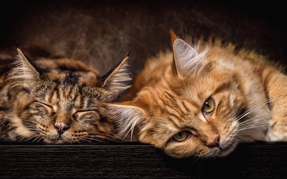 Wallpaper Two cats want to sleep