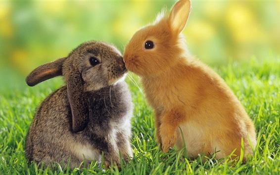 Papéis de Parede Dois coelhos, cinza e laranja, grama