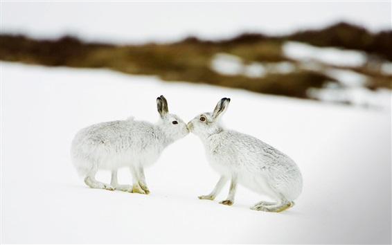 Papéis de Parede Dois coelhos na neve, beijo