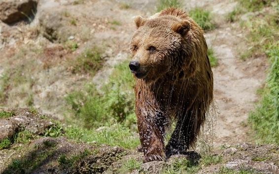 Обои Влажный бурый медведь, прогулка, трава