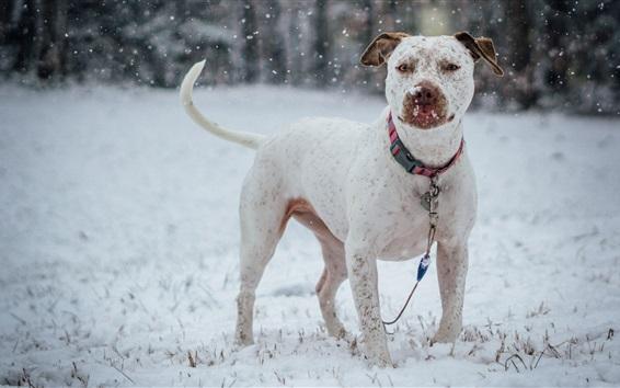 배경 화면 겨울, 눈 덮인 하얀 불독