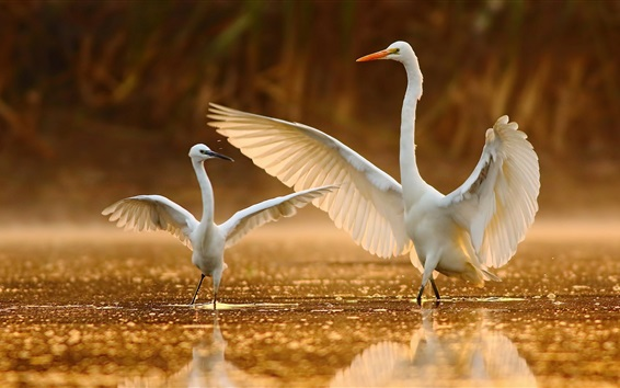 Wallpaper White egret dance in water
