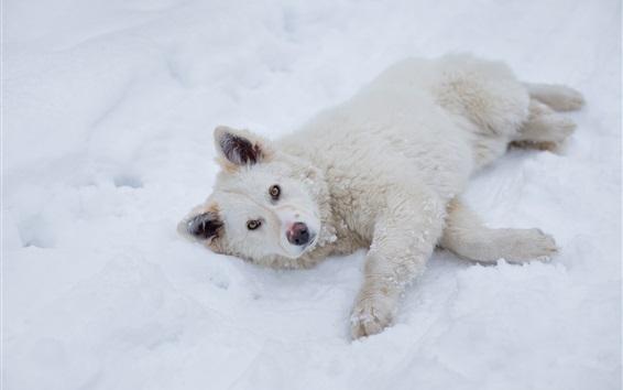 Wallpaper White puppy sleep on snow