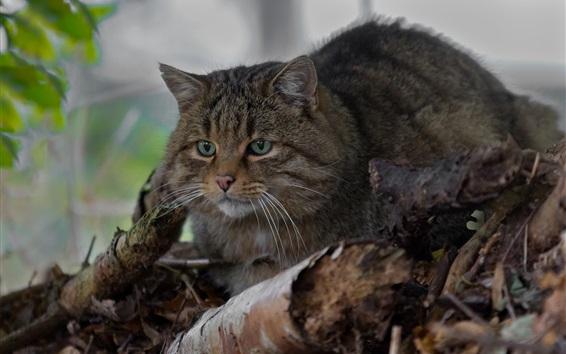 Wallpaper Wild cat, green eyes, rest