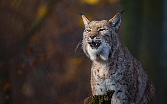 Papéis de Parede Gato selvagem, lince, vista frontal