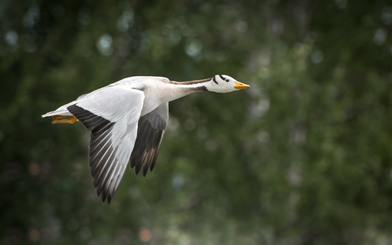 Wallpaper Wild duck flight