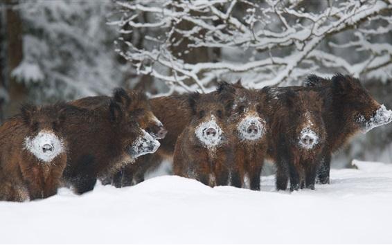 Wallpaper Wild pigs, boar, winter, snow