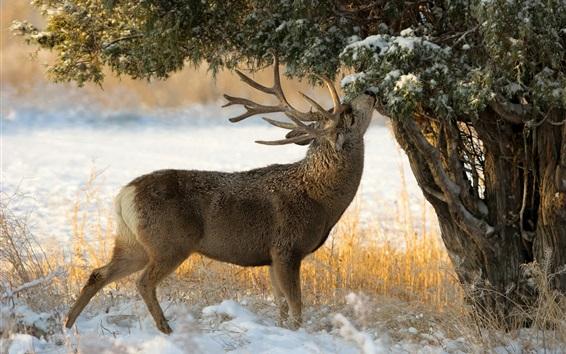 Papéis de Parede Inverno, neve, árvore, cervo