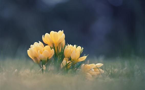 壁紙 黄色の花、クロッカス、ボケ