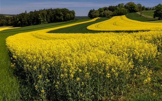 배경 화면 노란 꽃, 유채, 여름