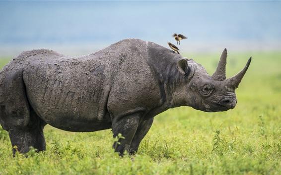 Fond d'écran Afrique, Rhino, oiseaux, herbe