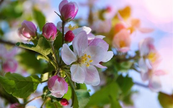 Papéis de Parede Flores de maçã florescem, primavera, bokeh