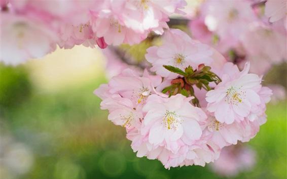 Papéis de Parede Flor bonita de sakura, flores de primavera