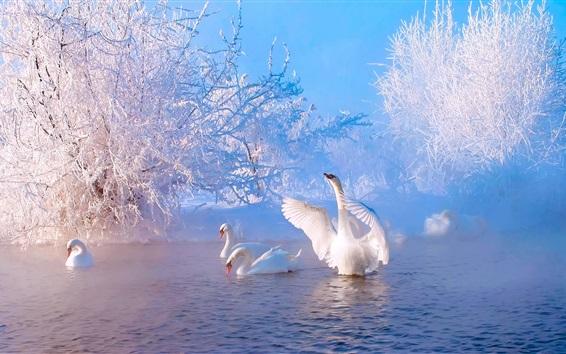 Papéis de Parede Bela manhã de inverno, lago, árvores, neve, cisnes brancos