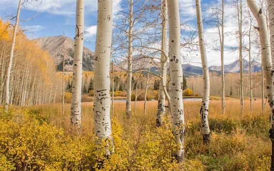 Обои Березовый лес, деревья, осень