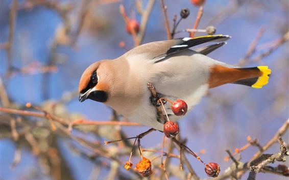 Wallpaper Bird, waxwing, berries