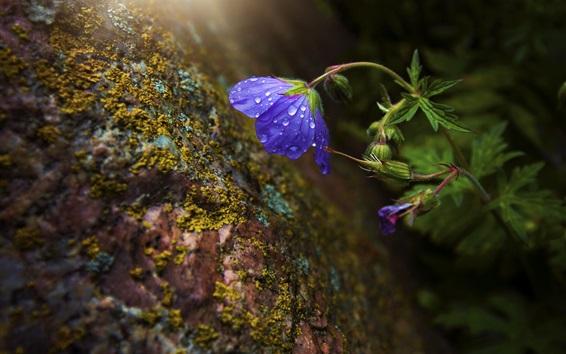 Wallpaper Blue flower, water drops, moss, rocks