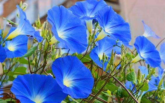 배경 화면 푸른 꽃, 나팔꽃