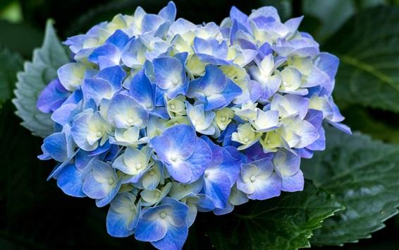 壁紙 青いアジサイの開花、春