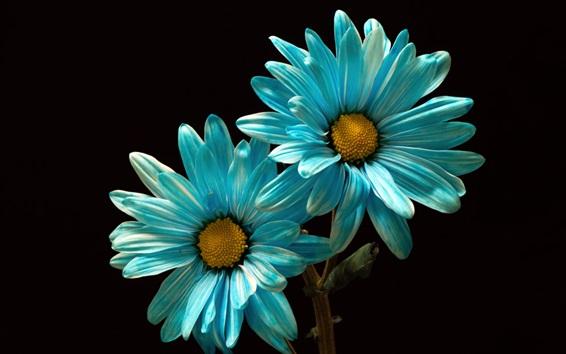 Обои Голубые лепестки ромашки, черный фон