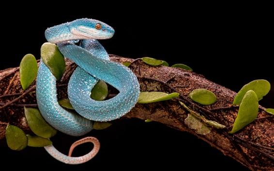 Papéis de Parede Cobra azul, víbora