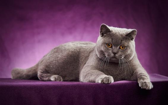 Wallpaper British Shorthair, cat, purple background