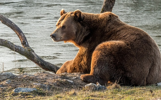 Wallpaper Brown bear rest, river