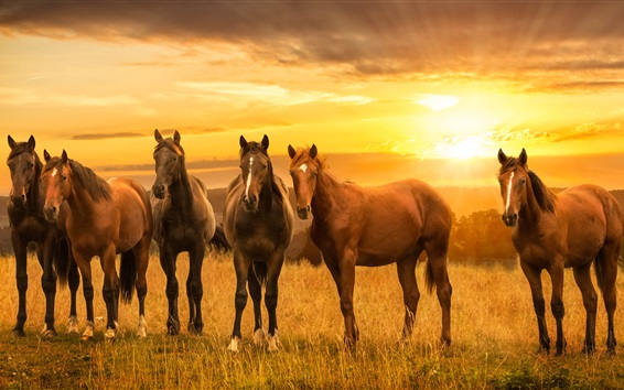 wallpaper brown horses meadow sunset hd picture image. Black Bedroom Furniture Sets. Home Design Ideas