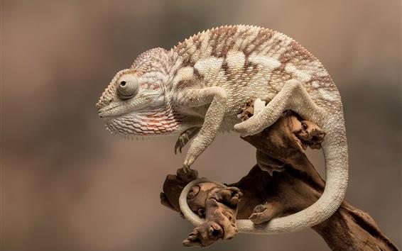 Papéis de Parede Camaleão, close-up de animais