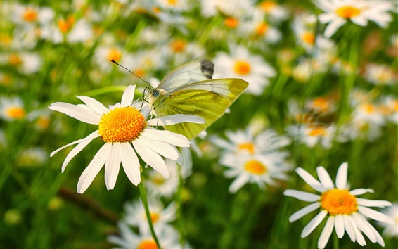 Wallpaper Chamomile, white flowers, butterfly