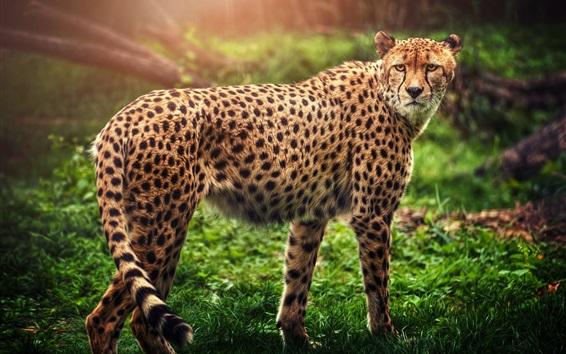 Wallpaper Cheetah look back, predator, green grass