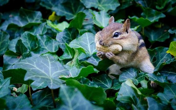 배경 화면 다람쥐는 땅콩, 설치류, 녹색 잎을 먹는다.