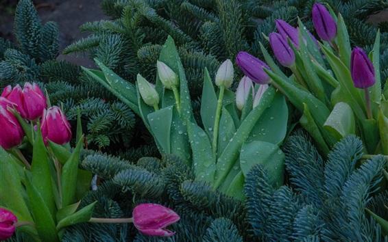 Fond d'écran Tulipes colorées, roses, mauves, fleurs blanches, brindilles d'épinette