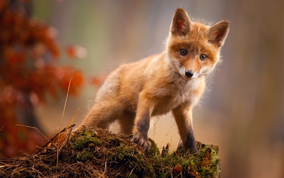 Wallpaper Cute red fox look at you