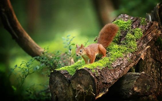 桌布 可愛的松鼠,青苔,森林