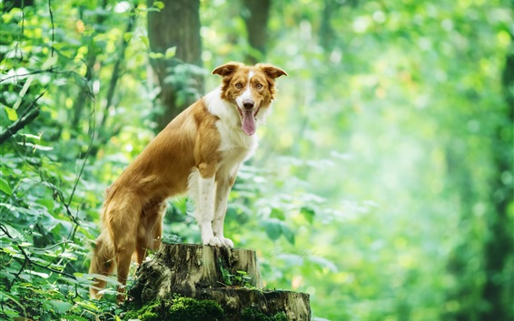 Wallpaper Dog in the forest, green, stump