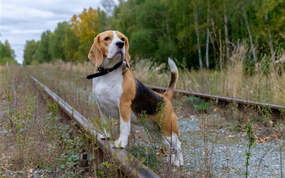 Wallpaper Dog, railroad